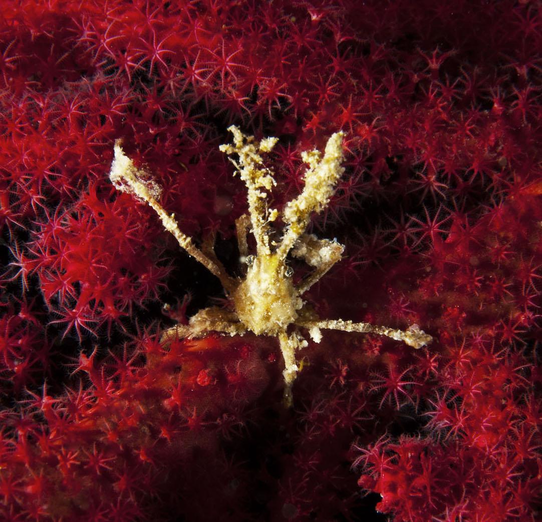 Achaeus spinosus